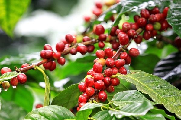 поставки зеленого кофе